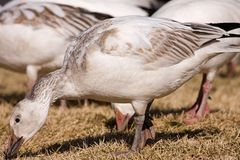 A flock of geese, feeding Royalty Free Stock Images