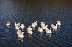 A flock of geese floating on the river in the setting sun towards the photographer Royalty Free Stock Photography