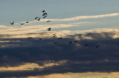 Flock of Geese Flying Across the Morning Sky Stock Photos