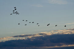 Flock of Geese Flying Across the Morning Sky Royalty Free Stock Photography