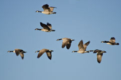 Flock of Geese Flying in Blue Sky Stock Image
