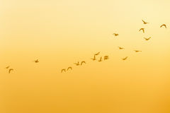 Flock of Geese flying at dawn Royalty Free Stock Photos