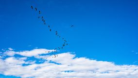 A flock of geese flying in formation with blue sky and white cirrus clouds stock photo