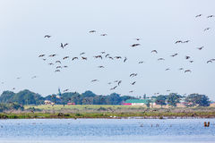 Flock of geese flying Stock Photography