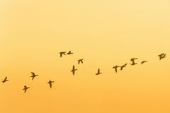 Flock of geese flying in the sunrise Royalty Free Stock Photography