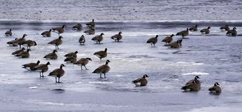 The Flock Of Geese On A Frozen Lake stock photos