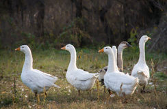 Flock of geese grazing on the grass in the autumn Stock Photography