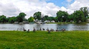 A Flock Of Geese Grazing Grass stock photos