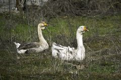 Flock of geese grazing on green grass royalty free stock photos