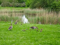 A flock of geese grazing in green grass near a lake. Photography of multiple adult and young geese grazing in green grass. The photography has been taken in Stock Photos