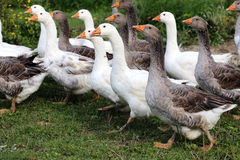 Flock of geese on green meadow in natural environment Stock Images