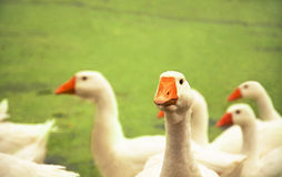 Flock of geese Stock Image
