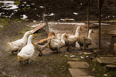 Flock of geese looking for food. In the grass and mud Royalty Free Stock Photography