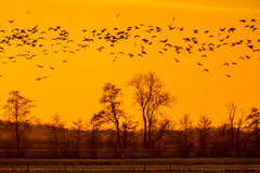 Flock of Geese looking for safe sleeping place stock image