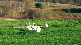 Flock of geese in the meadow preening its feathers stock video footage