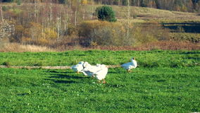 Flock of geese in the meadow preening its feathers stock video