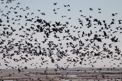 Flock of Geese over a Marsh Royalty Free Stock Photo