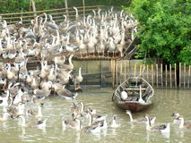 Flock of geese in a pen. Outdoor Royalty Free Stock Image