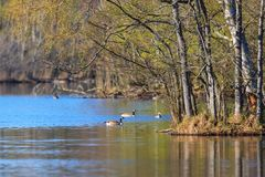 Flock of geese at a pond Royalty Free Stock Photography