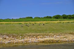 Flock of geese reside along a drainage ditch Royalty Free Stock Image