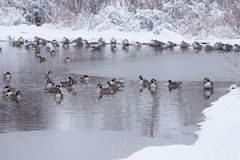Flock of Geese Resting in Icy Lake Royalty Free Stock Photo