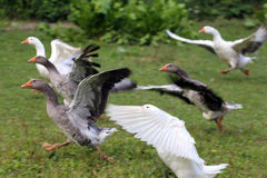 Flock of geese running on green meadow in natural environment Royalty Free Stock Photo