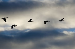 Flock of Geese Silhouetted in the Cloudy Sky Stock Photography