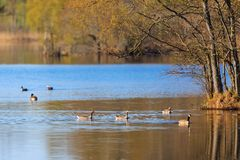 Flock of geese at spring Royalty Free Stock Image
