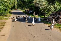 A flock of geese strolls along an asphalt road royalty free stock image