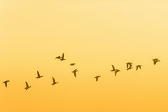 Flock of geese in the sunrice Royalty Free Stock Image