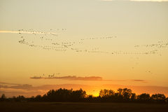 A flock of geese at sunset. A flock of geese in flight against a sunset sky Stock Photo