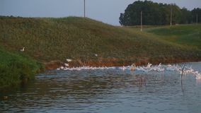 A flock of geese at sunset jumps into the pond water, thousands of geese stock video
