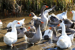 Flock of geese swimming in a marshy pond Royalty Free Stock Image