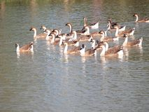 Flock of geese swimming. On a pond Stock Photos