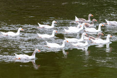 Flock of geese swimming Stock Photos