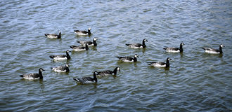 Flock of geese swimming Stock Image