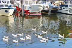 Flock of geese swims in the canal Stock Image