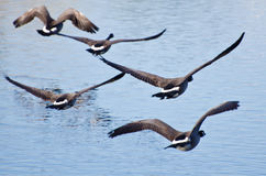 Flock of Geese Taking Off from Water Royalty Free Stock Photos
