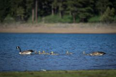 Flock of Geese with their young royalty free stock images