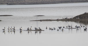 Flock of Geese at Wetland Stock Images