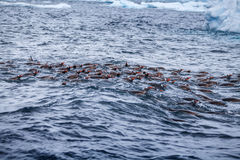Flock of Gentoo penguins swims in the ocean water, Antarctica Royalty Free Stock Photography