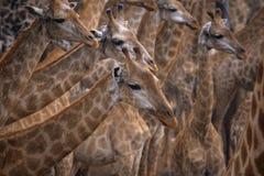 Flock of giraffe in wild Stock Image