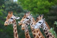 Flock of giraffes Stock Photos