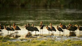 Flock of glossy ibis plegadis falcinellus in water. Background Royalty Free Stock Photography