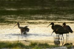 Flock of glossy ibis plegadis falcinellus in water. Background Stock Photography