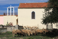 The Flock go to Church. A flock of sheep eating grass outside a church in Kefalonia, Greece stock image