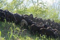 Flock of goat Royalty Free Stock Photo