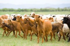 Flock of goats. Moving at green pasture royalty free stock photos