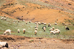 Flock of goats at atlas mountain Stock Images