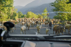 Flock of goats block the road. Royalty Free Stock Photography